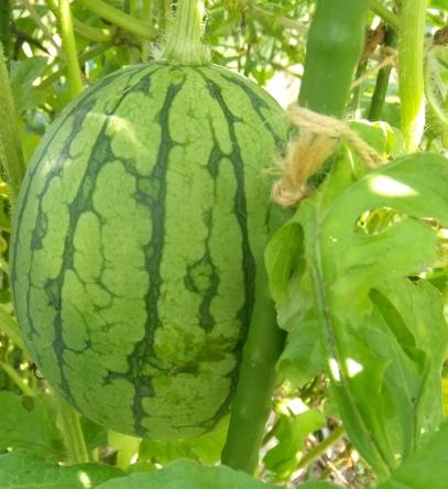 小玉スイカ空中栽培成長期